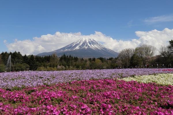 富士芝桜_18.jpg