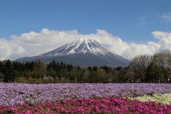 富士芝桜_19.jpg