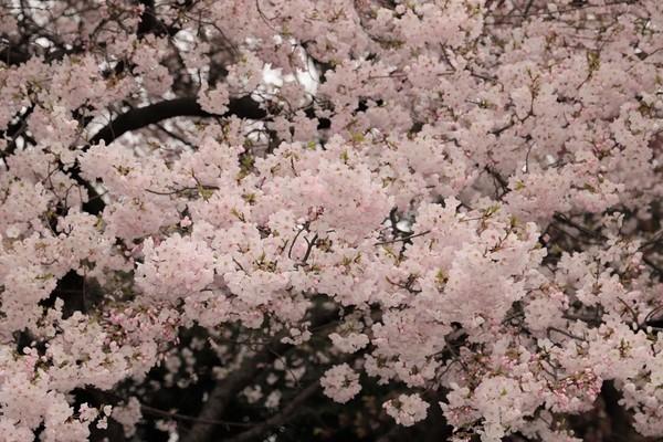新宿御苑_190330_02.jpg