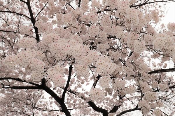 新宿御苑_190330_07.jpg