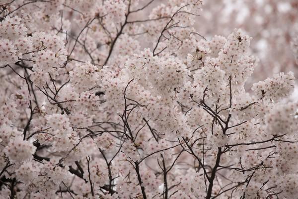 新宿御苑_190330_37.jpg