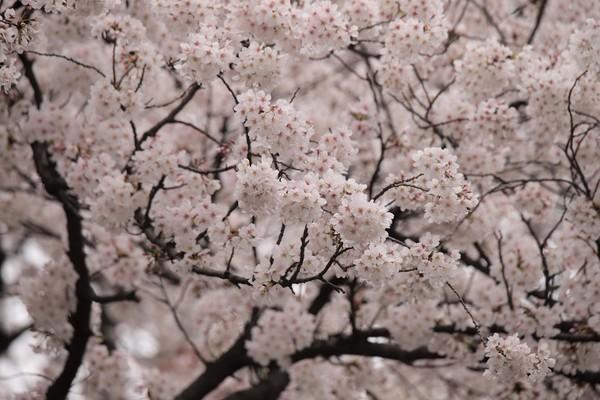 新宿御苑_190330_38.jpg